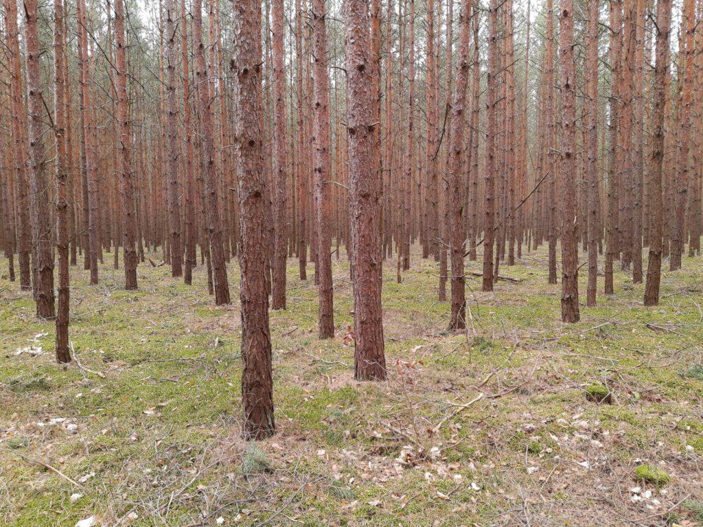 Runzelfuesschen Wald um Berlin